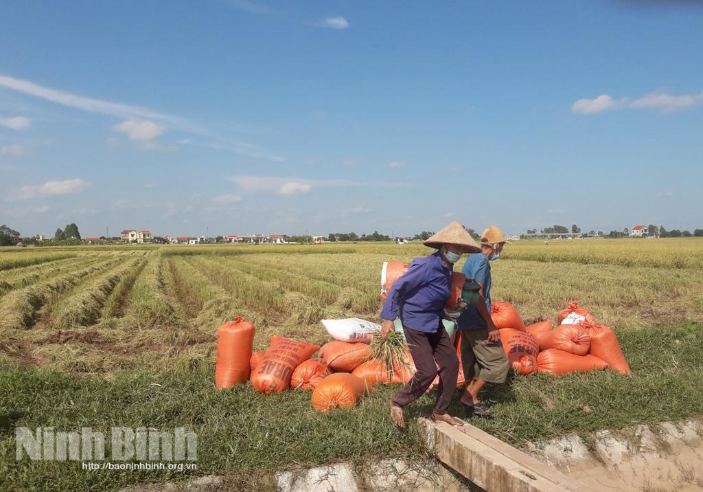 Yên Khánh Tập trung thu hoạch nhanh gọn diện tích lúa mùa