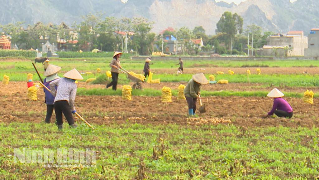 Yên Mô vụ khoai tây tiếp tục được mùa được giá
