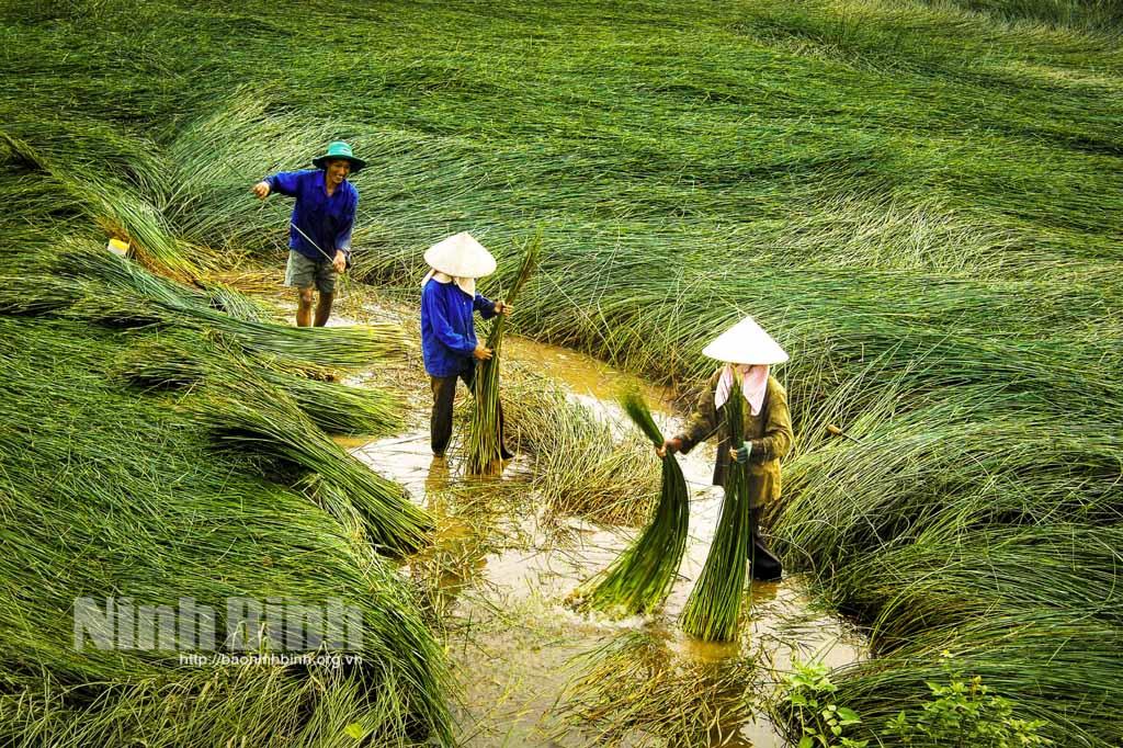 Mùa cói Kim Sơn