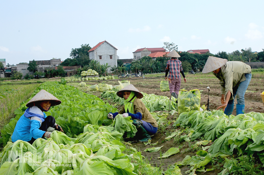 Yên Khánh phát triển đa dạng cây vụ đông có giá trị kinh tế cao