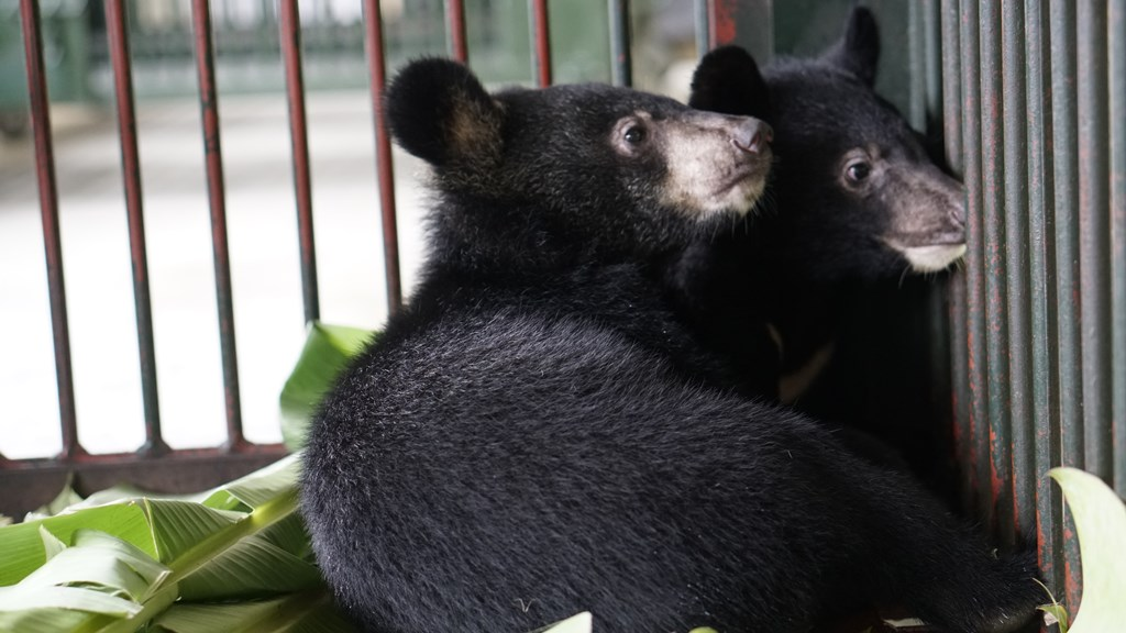 Tiếp nhận thành công 2 cá thể gấu ngựa con từ tỉnh Lai Châu