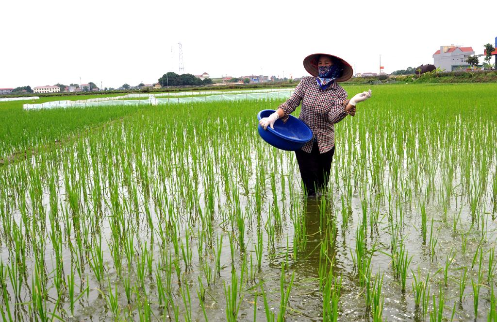 Gia Viễn tập trung gieo cấy và bảo vệ lúa mùa