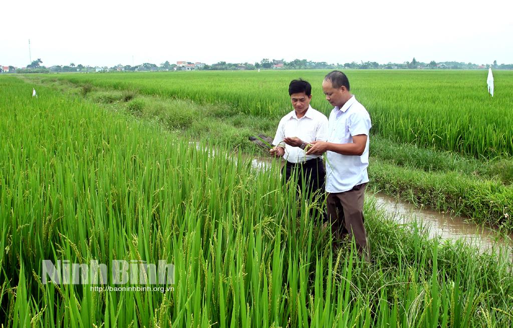 Nâng cao giá trị cho lúa gạo Yên Khánh