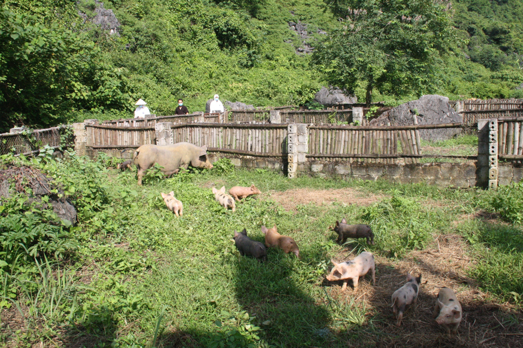Hỗ trợ người chăn nuôi tái đàn lợn an toàn, hiệu quả