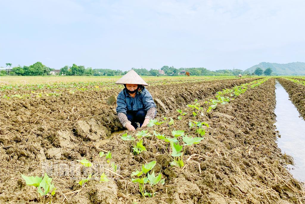 Thúc đẩy sản xuất vụ đông để đáp ứng tốt nhu cầu lương thực, thực phẩm thời điểm cuối năm