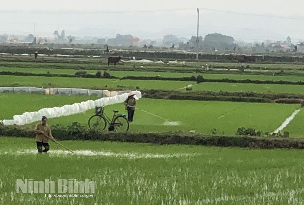 Yên Khánh, tập trung chăm sóc lúa xuân