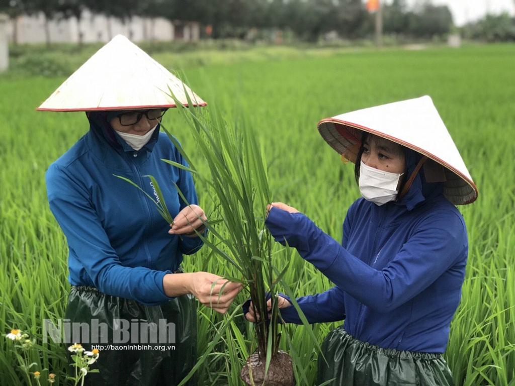 Tập trung cho cao điểm phòng trừ sâu bệnh hại lúa đông xuân