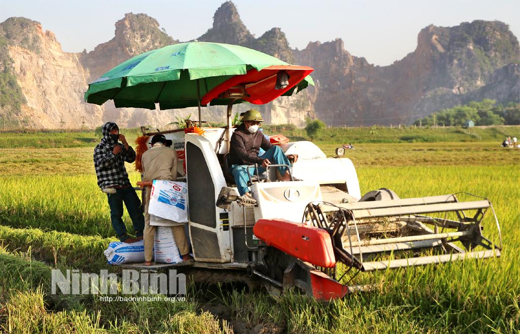 Nho Quan: Đẩy nhanh tiến độ thu hoạch lúa ngoài đê tránh lũ tiểu mãn