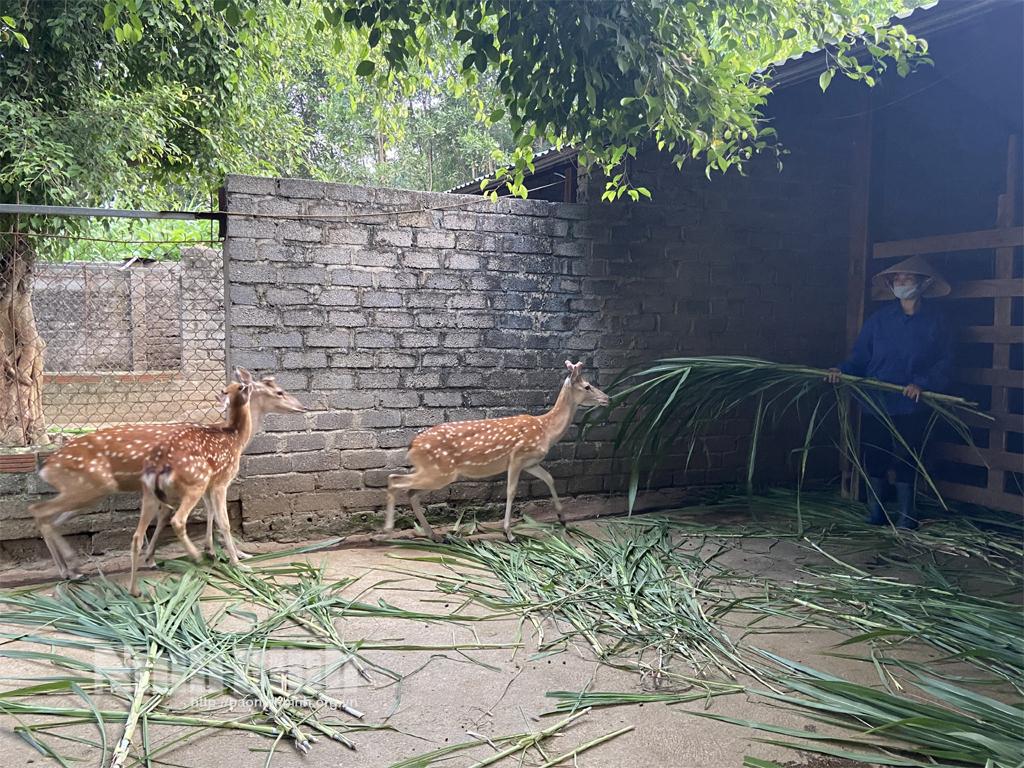 Mô hình nuôi hươu cho thu nhập hàng tỷ đồng ở Phú Long
