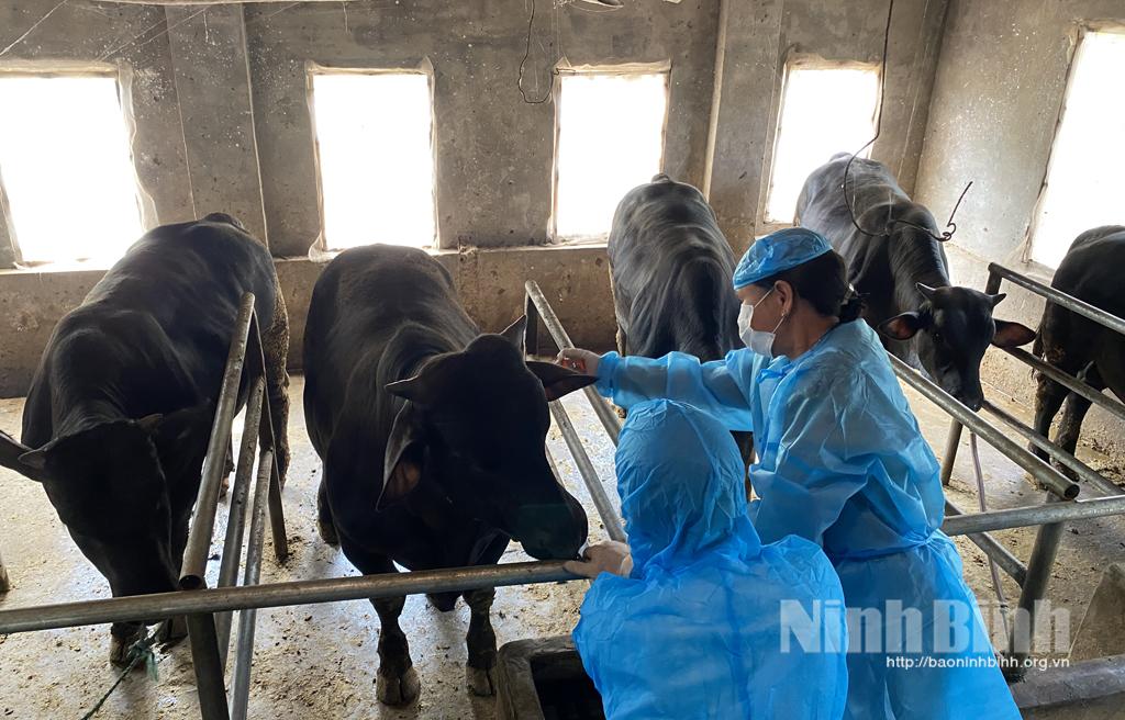 Đã cơ bản khống chế được bệnh viêm da nổi cục trên trâu, bò